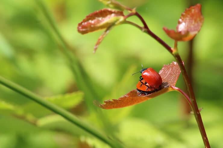 sex02_beetles_red.jpg