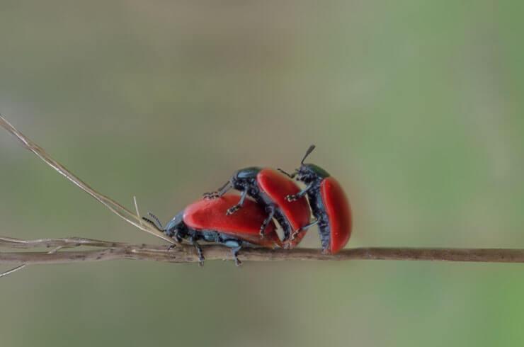 sex03_beetles_red3.jpg